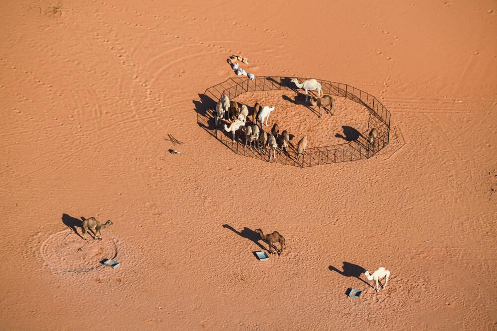 Landscape, camels during Stage 7 of the Dakar 2020 between Riyadh and Wadi Al-Dawasir, 741 km - SS 546 km, in Saudi Arabia, on January 12, 2020 - Photo Eric Vargiolu / DPPI